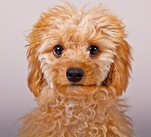 Toy Poodle Puppy by PrecisionImages