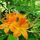 Flame Azalea by Evelyn Laeschke