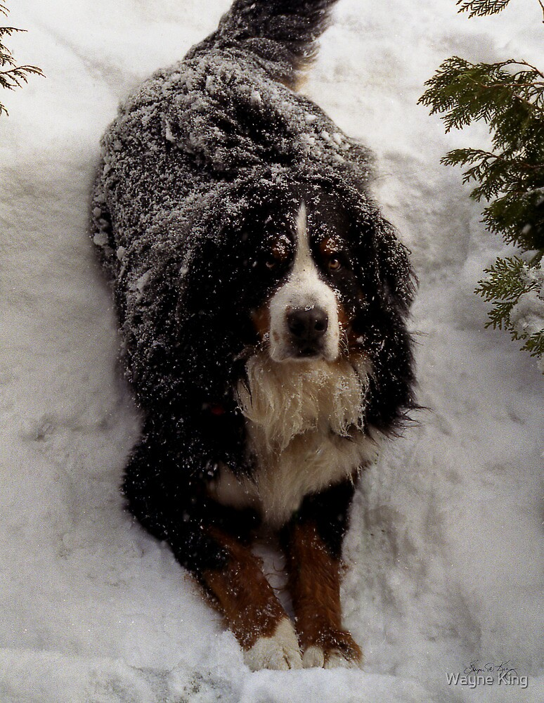 Snow Rescue Dog  by Wayne King