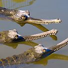 Conspiracy crocodiles by Benjamin Gelman