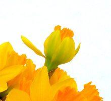 Daffodils by Jennifer J Watson