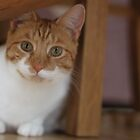 Ginger cat by RuariFieldPics