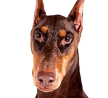 Red & Tan Doberman Pinscher - Dry Brush by PrecisionImages