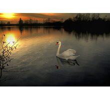 White Swan at Sunset  Photographic Print