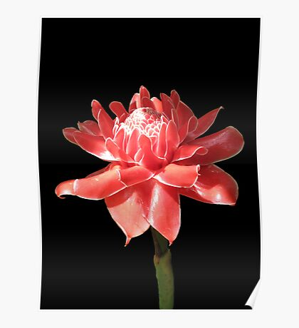 Torch Ginger on Black Poster