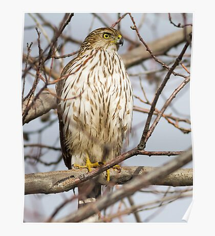 Cooper's Hawk: Looking for Robins at Red Robin Poster