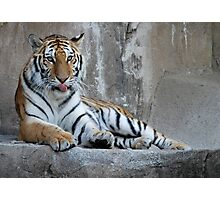 Hungry Tiger Photographic Print