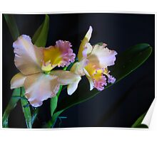 Orchid starlet Poster