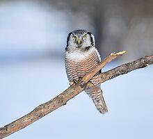 HAWK OWL by Nikonshot1