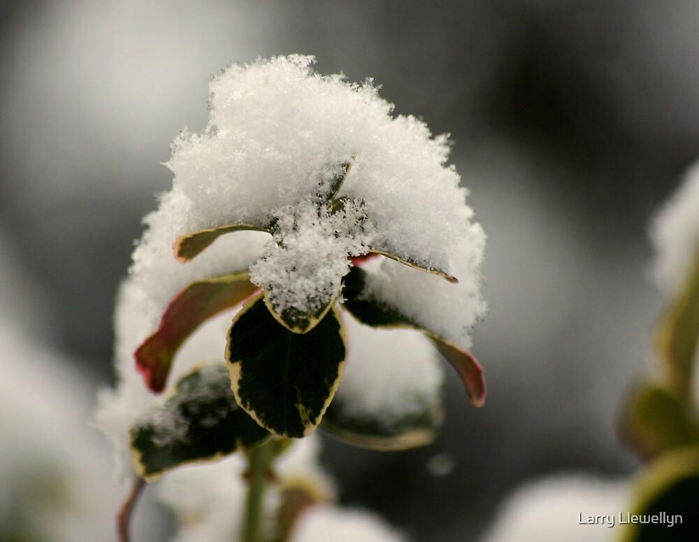 Snow Ball............... by Larry Llewellyn