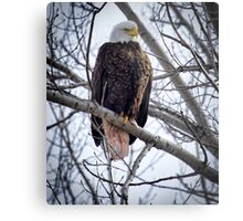 Perched Adult American Bald Eagle Metal Print