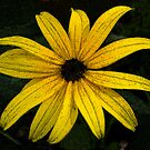 Black Eyed Susan by mussermd