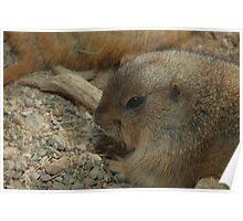 Black-tailed Prairie Dog (Cynomys ludovicianus) Poster