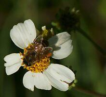 Bee on wildflower by Scott Dovey