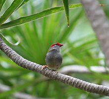 Australian Native Red-browed Finch by aussiebushstick