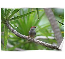 Australian Native Red-browed Finch Poster