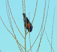 Red Wing Blackbird....Upside Down by trueblvr
