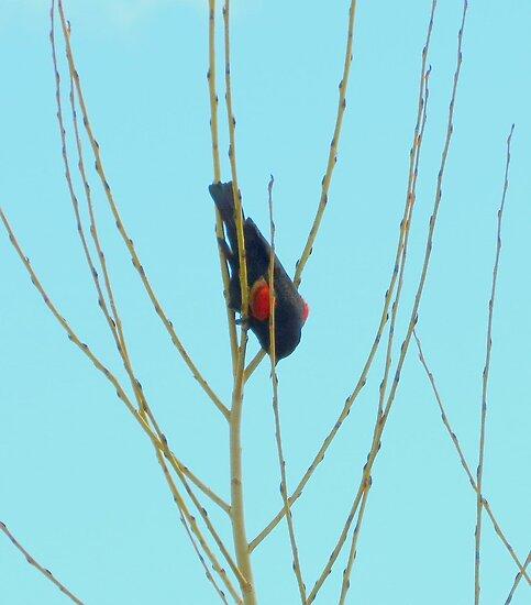Red Wing Blackbird....Upside Down by trueblvr