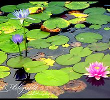 Lily Pond by LCR  Photography