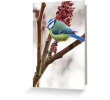 Blue tit feeding on winter rhus, County Kilkenny, Ireland Greeting Card