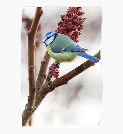 Blue tit feeding on winter rhus, County Kilkenny, Ireland Poster
