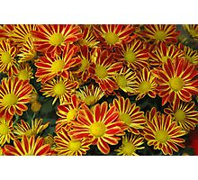 Mums - Red & Yellow Photographic Print