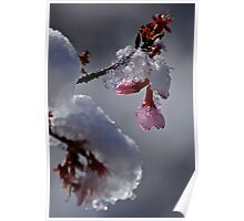 Winter Nipped Cherry Blossom Poster