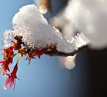 Pink Cherry Blossoms in Snow by ishotit4u