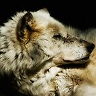 Grey Wolf Resting by Jay Lethbridge