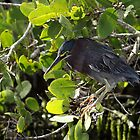 Green Heron by Carol Bailey White