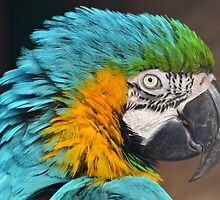 Blue-and-yellow Macaw by Jacqueline van Zetten