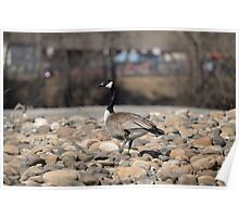 Canada goose on gravel bar Poster
