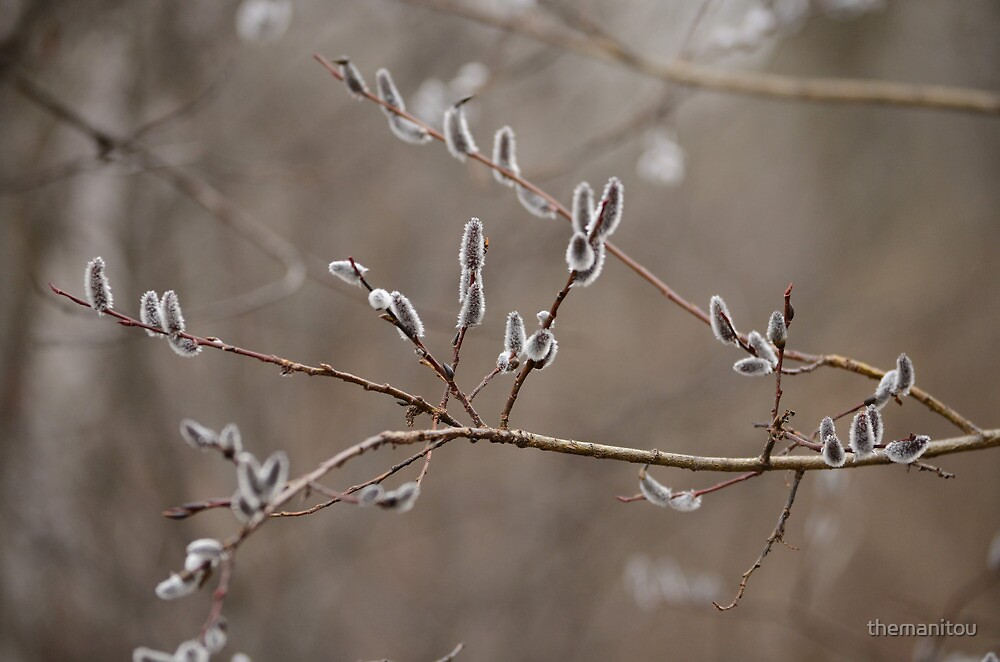 Pussy willow catkins by themanitou