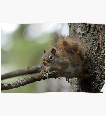 Squirrel in fir tree 2 Poster
