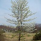 Wild Cherry Tree in Spring Bloom by MotherNature