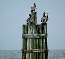 Pelicans on Pilings  by KSKphotography