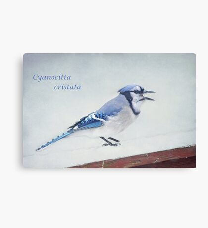 Cyanocitta cristata ~ Canvas Print