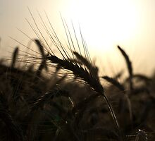 Wheat spike in the light of the setting sun by Anna Rostova