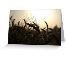 Wheat spike in the light of the setting sun Greeting Card