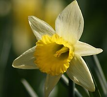 Daffodil in Springtime by Peter Barnes