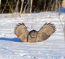 GREAT GRAY OWL  by Nikonshot1