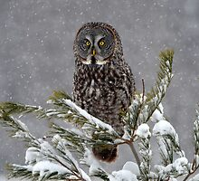 GREAT GRAY OWL  by Nikonshot1