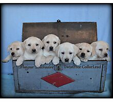 Tool box of Labradors! Photographic Print