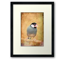 Java Sparrow Framed Print
