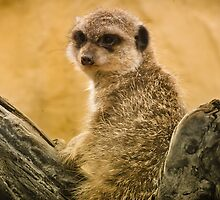 Cute Timon  by LaureenDelannoy