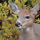 A Fawn's Smile by Martha Medford
