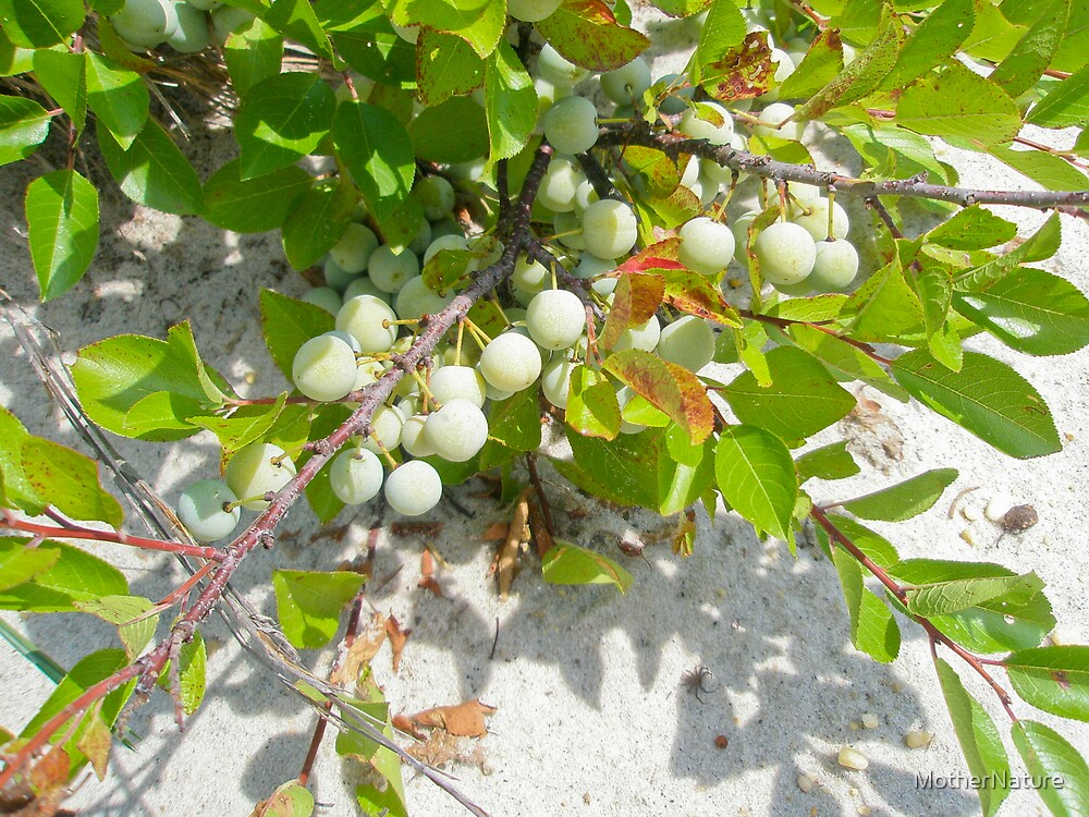 Beach Plum - Prunus maritima - Island Beach State Park NJ by MotherNature