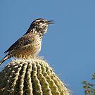 Cactus Wren Calling by Kimberly Chadwick