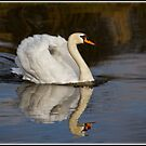 Mute Swan by alan tunnicliffe