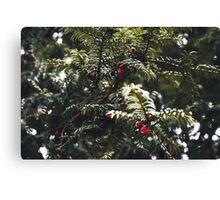 Yew Berries Canvas Print